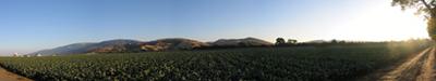 cabbage-fields.jpg